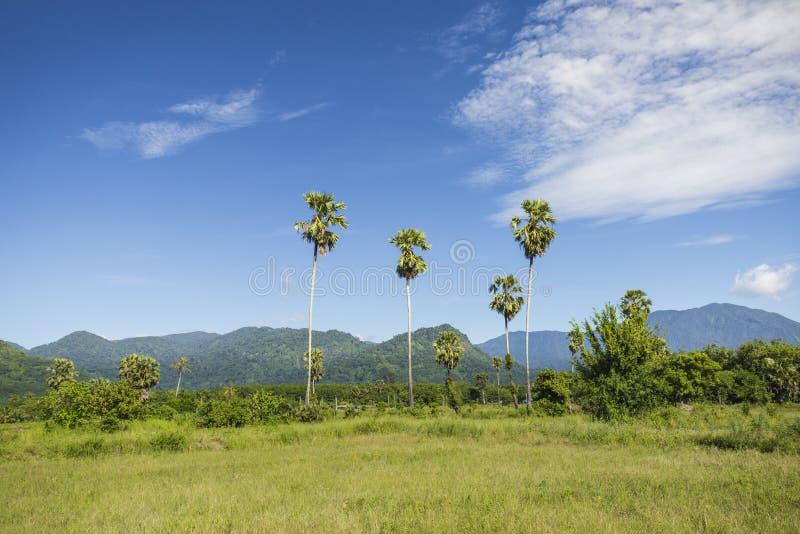 Alberi della palma da zucchero nel campo fotografie stock