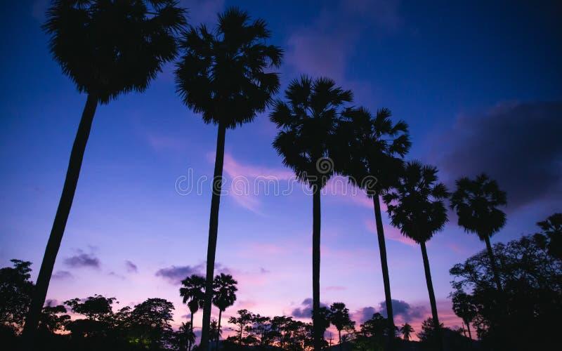 Alberi della palma da zucchero della siluetta con il cielo crepuscolare fotografie stock