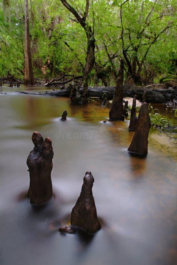 Alberi della palude del Cypress fotografie stock libere da diritti