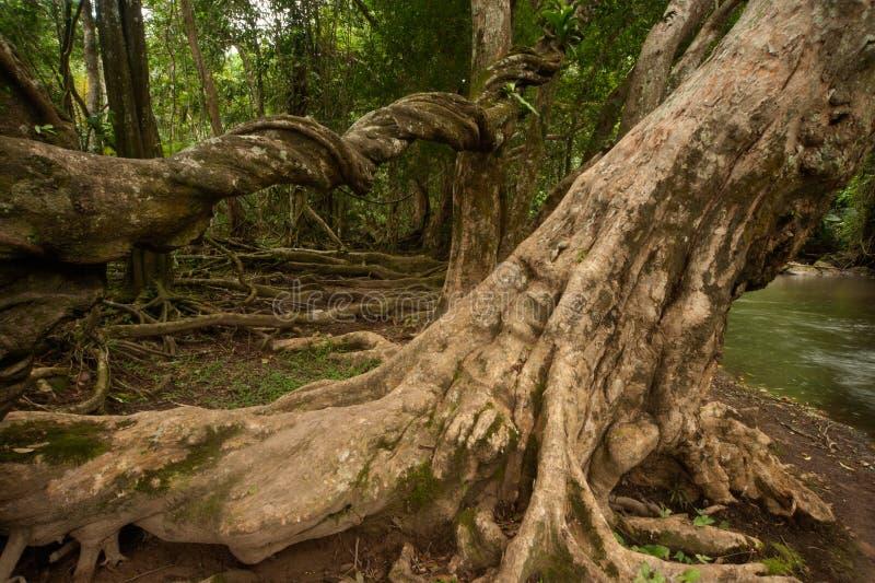 Alberi della radice in foresta. fotografia stock libera da diritti