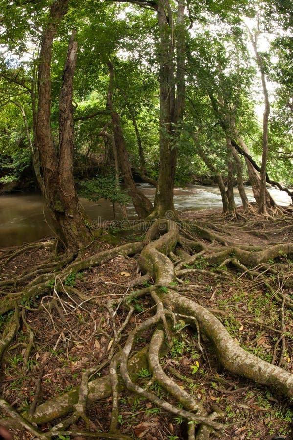 Alberi della radice in foresta. fotografia stock