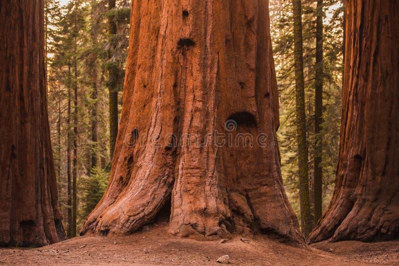 Alberi della sequoia gigante fotografie stock
