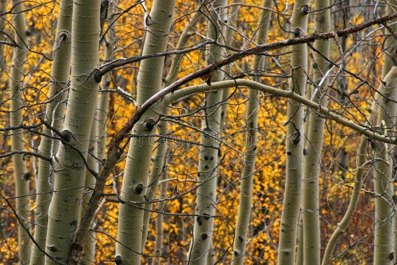 alberi della tremula fotografia stock