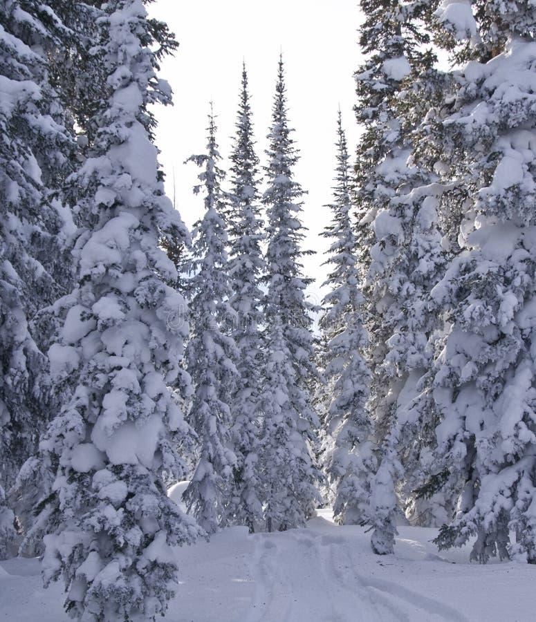 Alberi dello Snowy immagine stock libera da diritti
