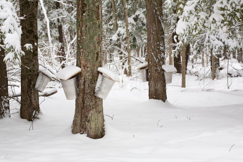 Alberi di acero con i secchi della linfa fotografie stock libere da diritti