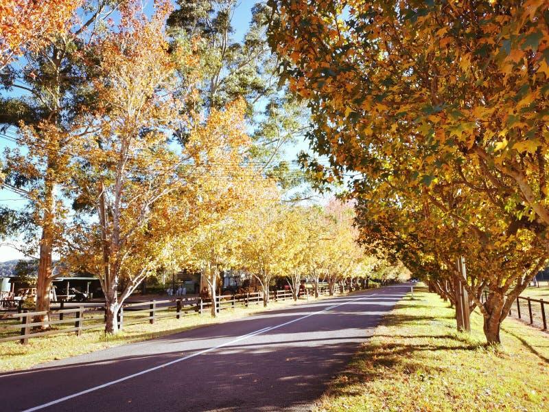 Alberi di acero sulla strada del traghetto di Wisemans, Australia immagini stock libere da diritti