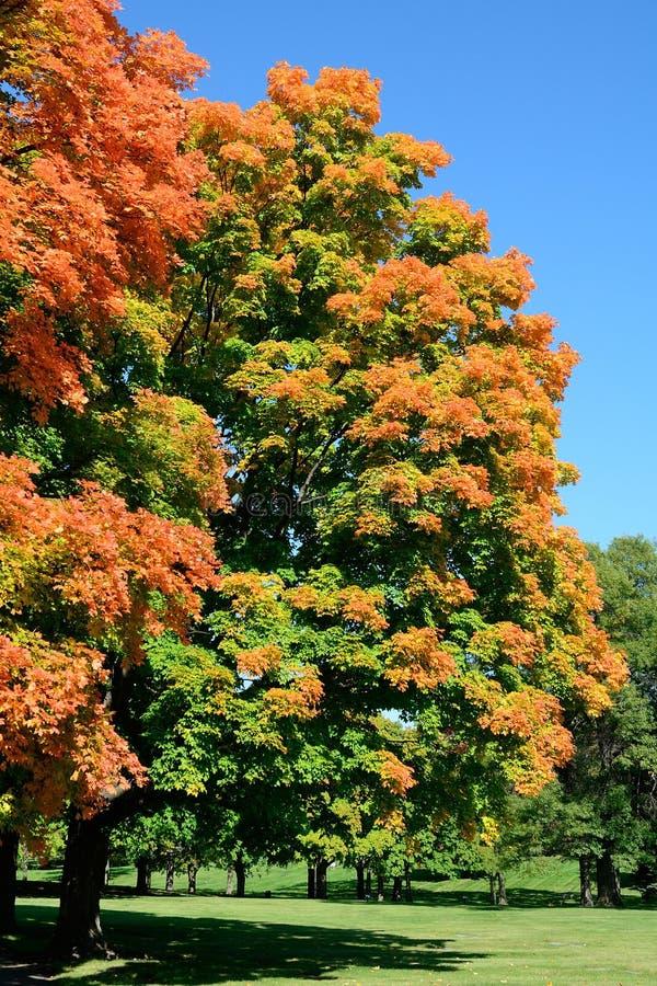 Alberi di acero variopinti in autunno immagini stock libere da diritti