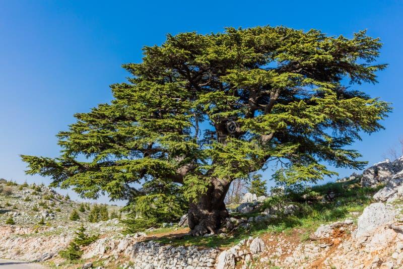 Alberi di Al Shouf Cedar Nature Reserve Barouk Libano fotografie stock libere da diritti