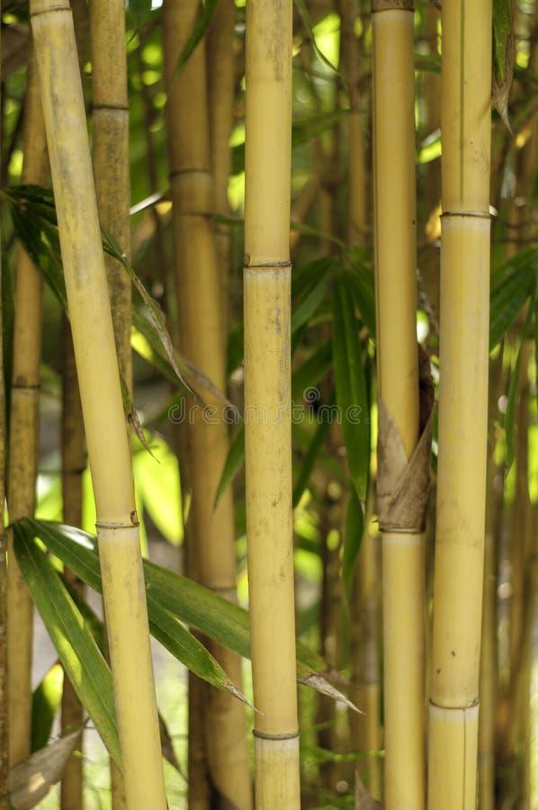 Alberi di bambù con i tronchi alti diritti fotografia stock libera da diritti