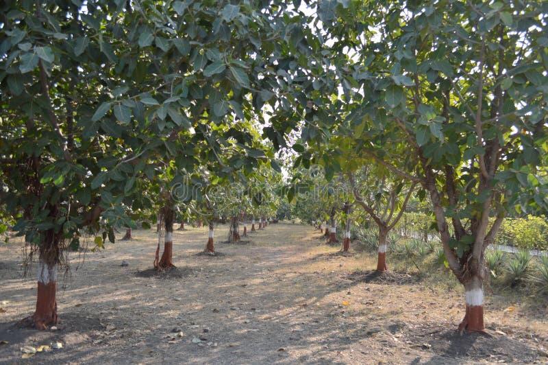 Alberi di banyan India immagini stock