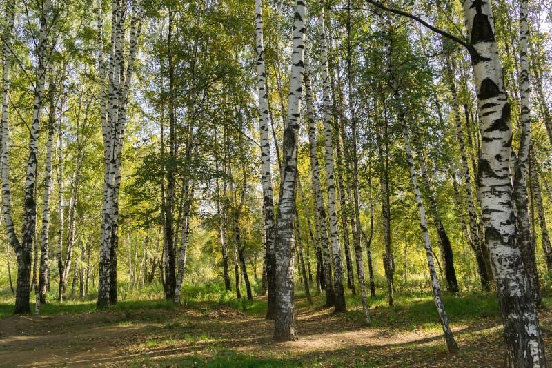 Alberi di betulla in Autumn Park fotografia stock libera da diritti