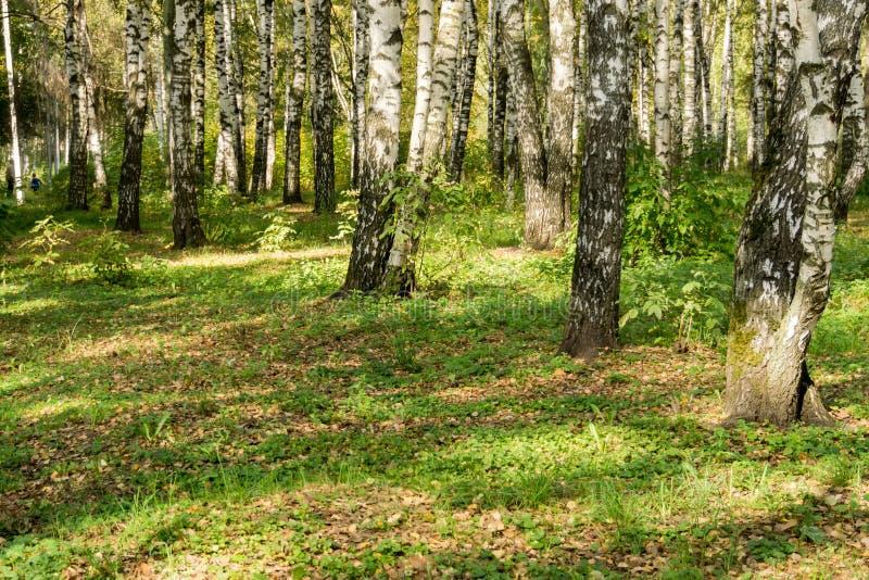 Alberi di betulla in Autumn Park fotografia stock