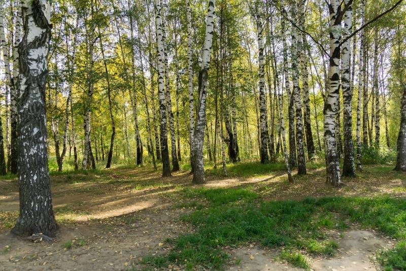 Alberi di betulla in Autumn Park fotografie stock libere da diritti