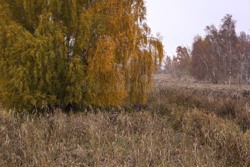 Alberi di betulla in autunno immagini stock libere da diritti