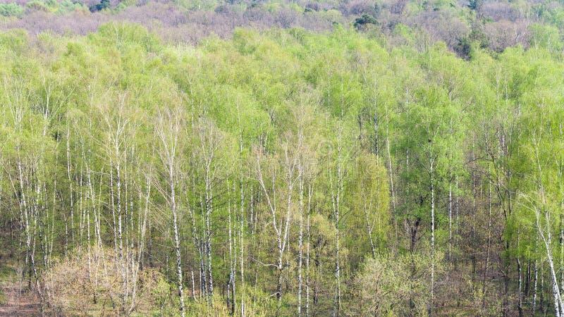 Alberi di betulla con le prime foglie verdi in foresta immagini stock
