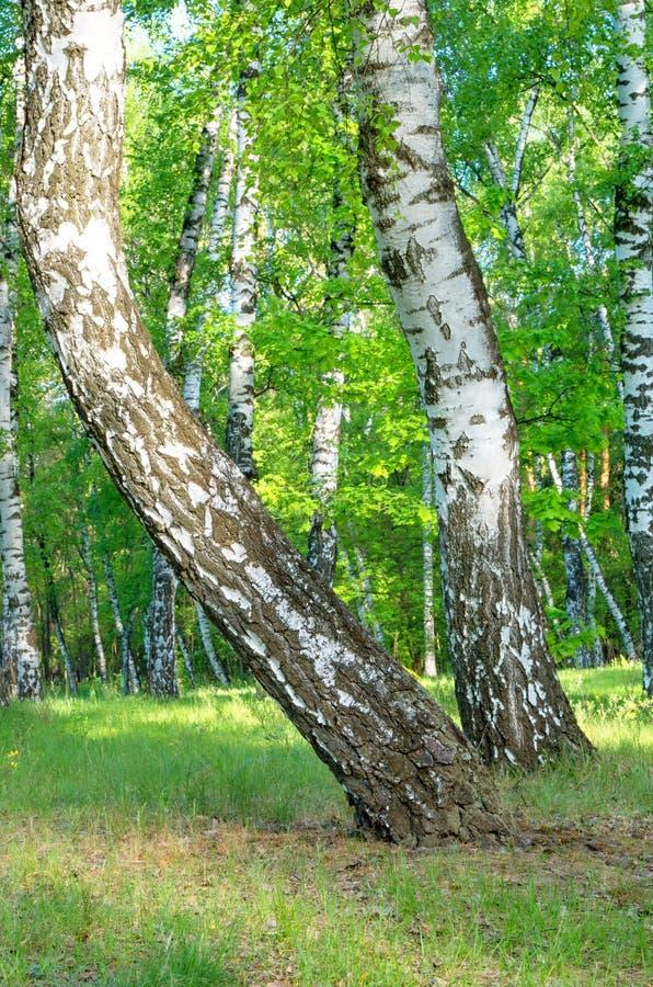 Alberi di betulla curvi, tronchi, primo piano, estate fotografie stock libere da diritti