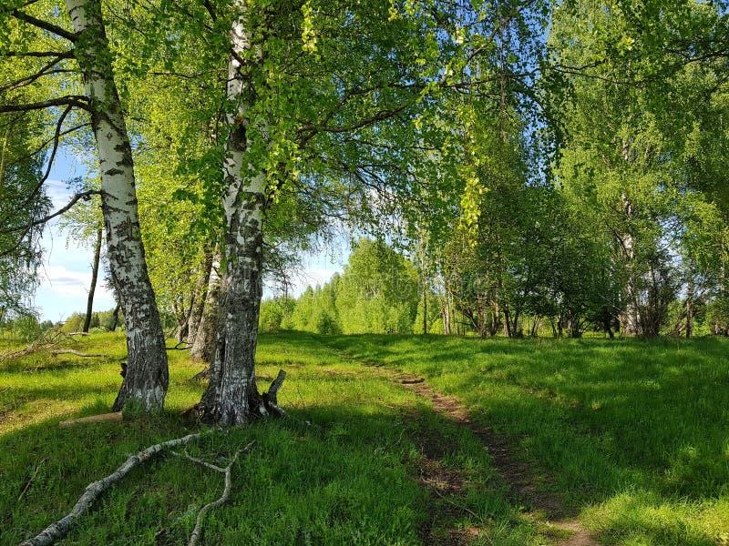 Alberi di betulla, erba verde e traccia di camminata Scena della sorgente fotografie stock