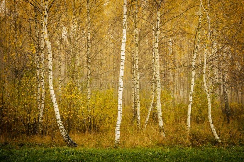 Alberi di betulla gialla fotografie stock libere da diritti