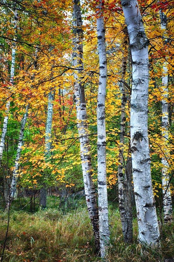 Alberi di betulla nella stagione di autunno immagine stock