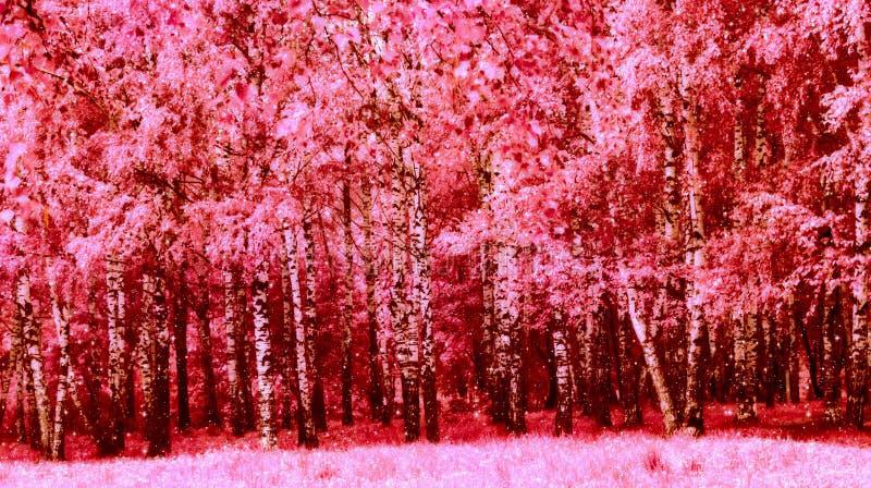 Alberi di betulla rosa nel parco immagine stock libera da diritti