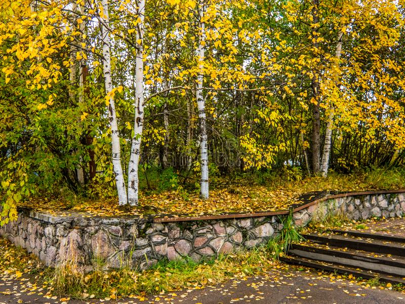 Alberi di betulla snelli nel parco di autunno fotografia stock libera da diritti