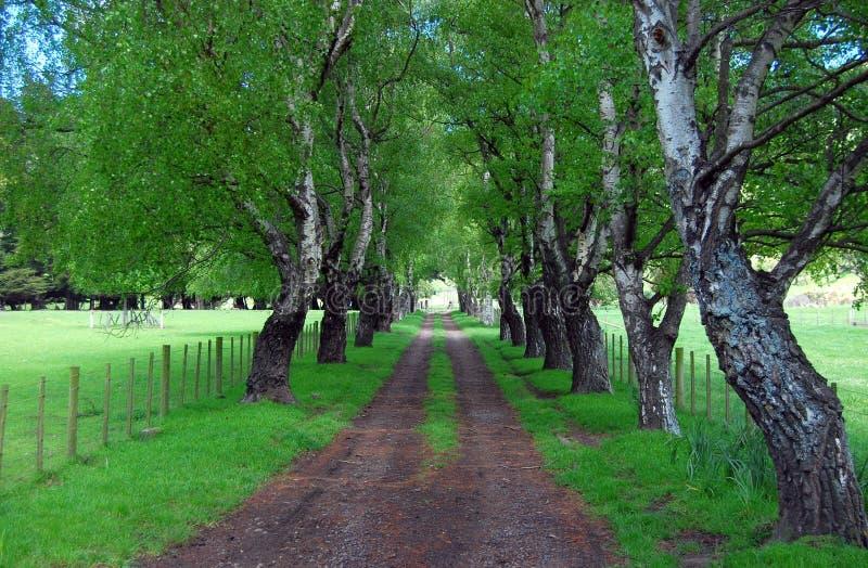 Alberi di betulla sulla strada rurale fotografia stock libera da diritti