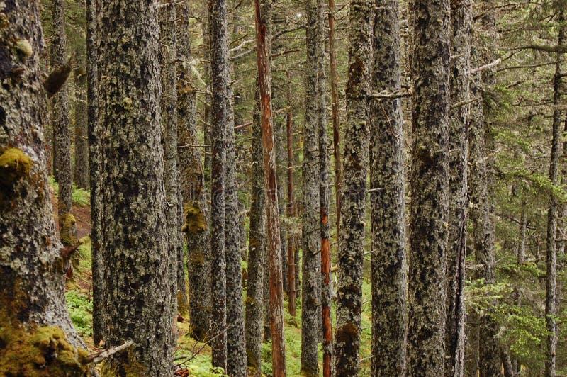 Alberi di betulla in una foresta muscosa immagini stock libere da diritti