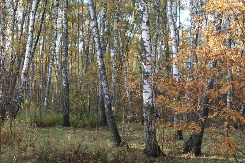 Alberi di betulla variopinti in autunno un giorno soleggiato fotografie stock libere da diritti
