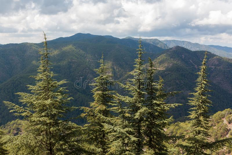 Alberi di cedro alle montagne di Troodos nel Cipro fotografia stock libera da diritti