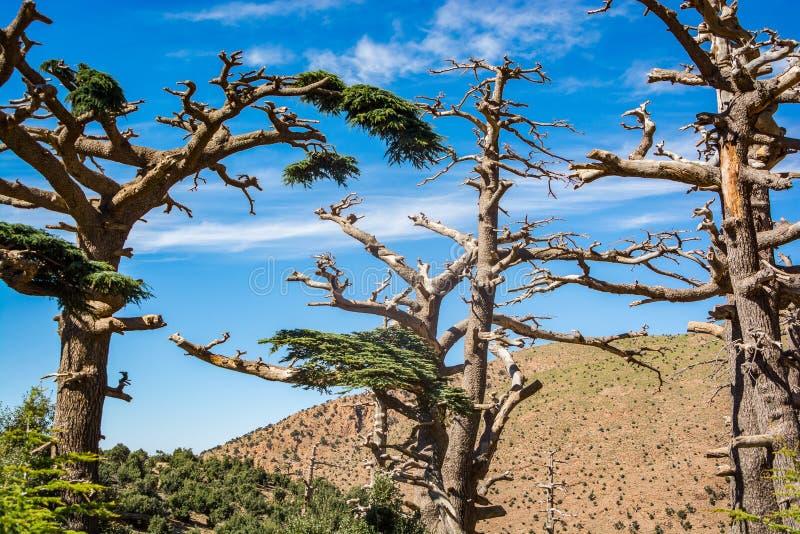 Alberi di cedro asciutti in montagna di atlante, Marocco immagine stock