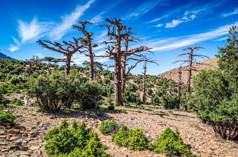 Alberi di cedro asciutti in montagna di atlante, Marocco fotografia stock