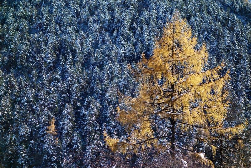 Alberi di cedro rosso fotografie stock libere da diritti
