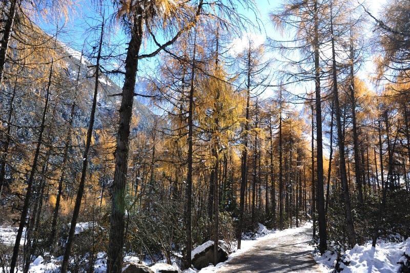 Alberi di cedro rosso con il percorso immagini stock libere da diritti