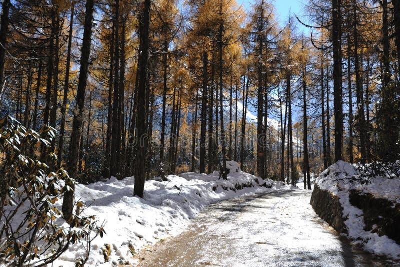 Alberi di cedro rosso con il percorso nevoso fotografia stock libera da diritti