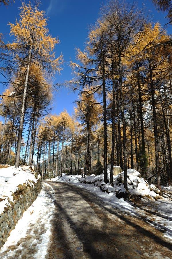 Alberi di cedro rosso con il percorso nevoso sotto cielo blu immagini stock