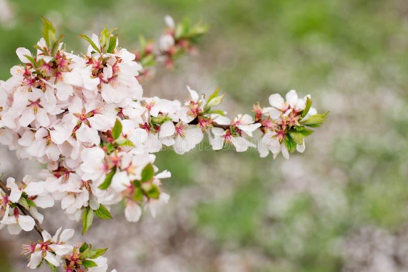 Alberi di Cherry Blossom, fondo di tempo di primavera e della natura Fiori dentellare di sakura fotografia stock libera da diritti