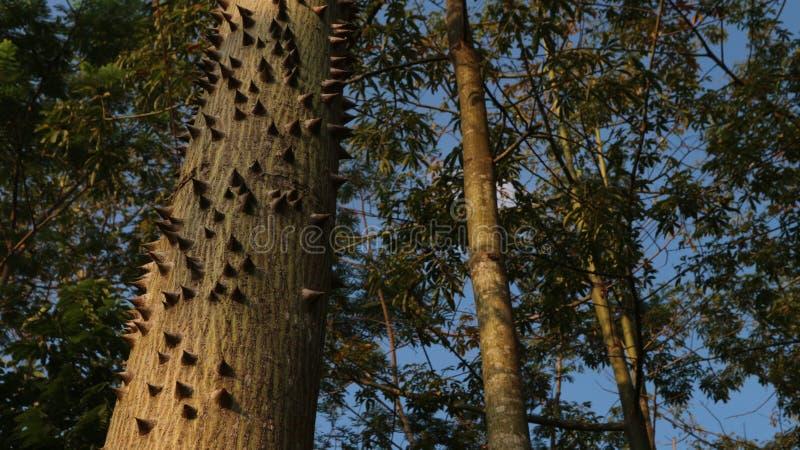 Alberi di cotone grandi e spinosi, antenati di alberi e cielo immagini stock