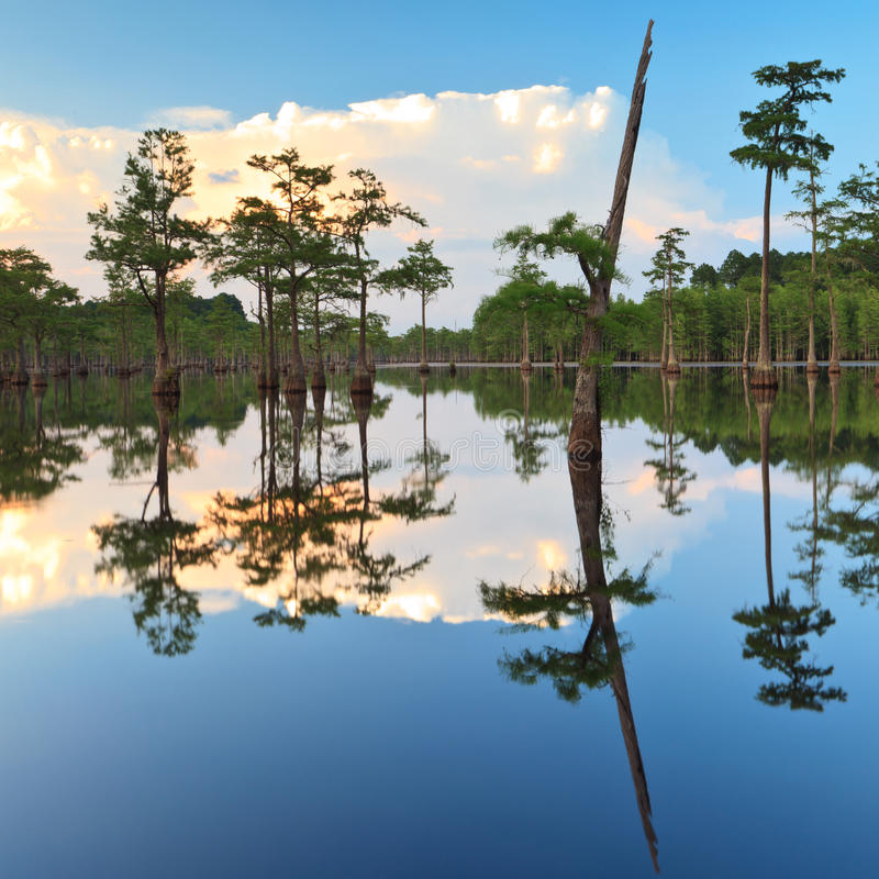 Alberi di Cypress nella palude fotografie stock
