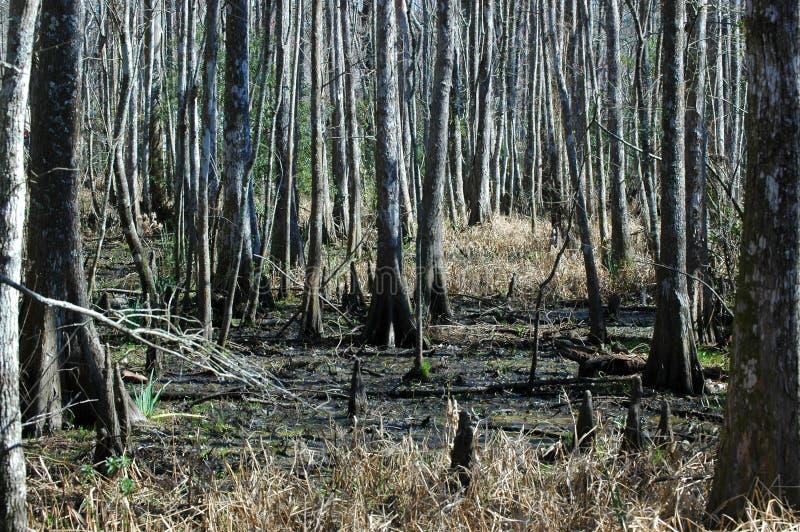 Alberi di Cypress su una palude al parco di stato della Fairview-riva del fiume immagini stock