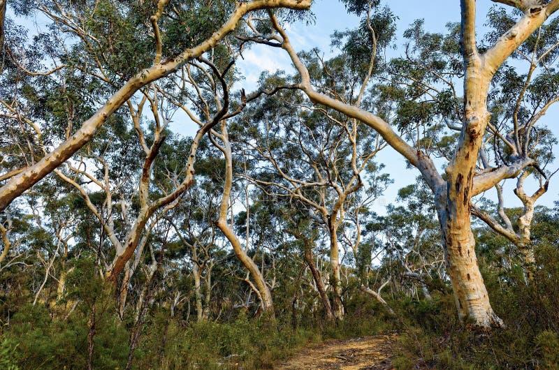 Alberi di eucalyptus nel cespuglio australiano fotografia stock libera da diritti