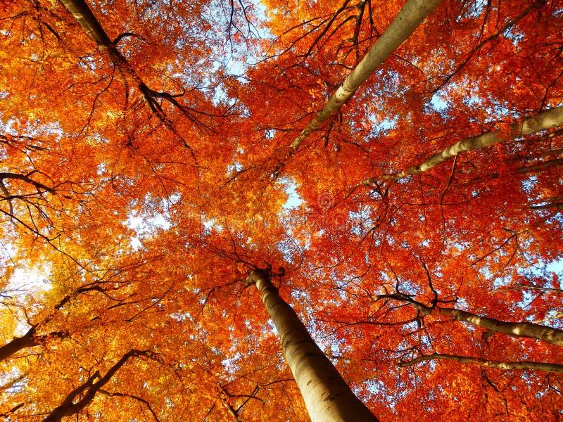 Alberi di faggio di autunno fotografie stock libere da diritti
