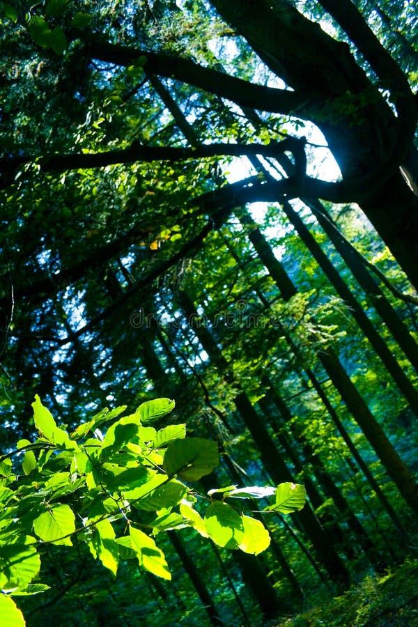 Alberi di faggio in foresta immagine stock libera da diritti