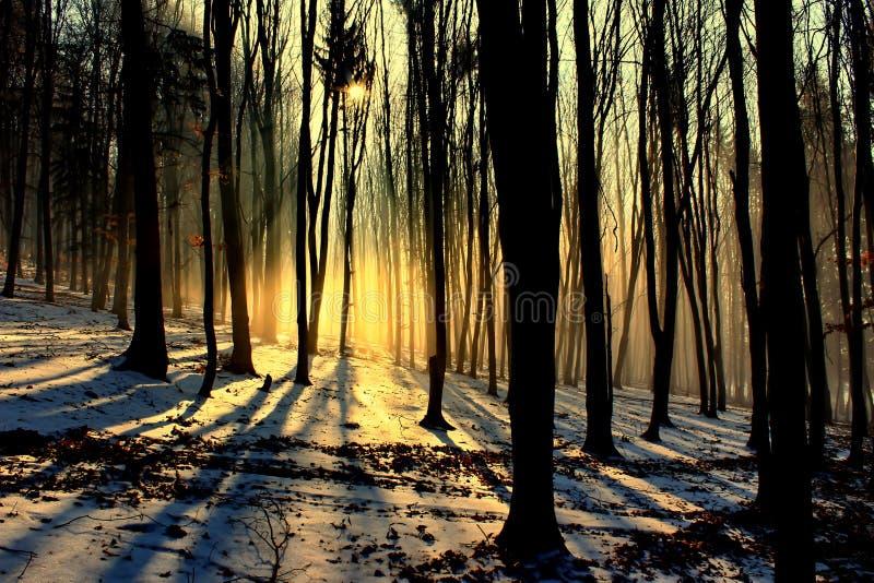 Alberi di faggio nell'inverno immagine stock libera da diritti