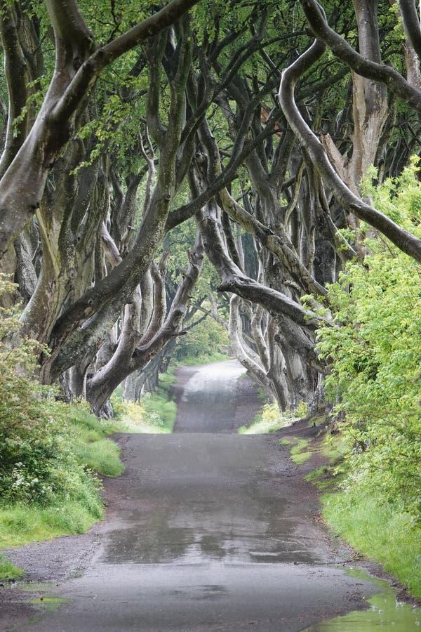 Alberi di faggio scuri delle barriere che allineano la strada di Bregagh in Irlanda del Nord fotografia stock