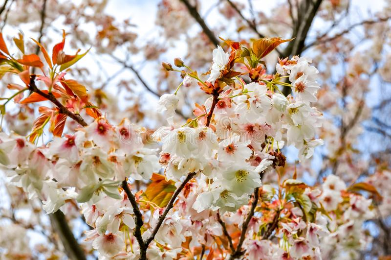 Alberi di fioritura nel giardino botanico di Kew in primavera, Londra, Regno Unito fotografia stock libera da diritti