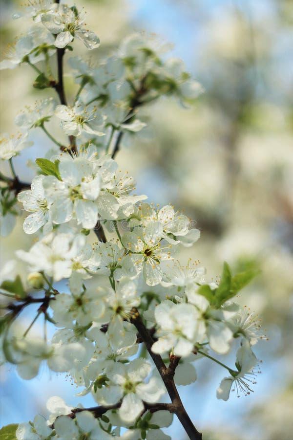 Alberi di fioritura in primavera di un fondo vago, di un fuoco selettivo, di bello giardino e di buon raccolto di estate fotografia stock libera da diritti