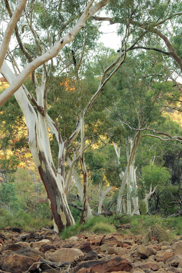 Alberi di gomme - eucalyptus australiano fotografie stock