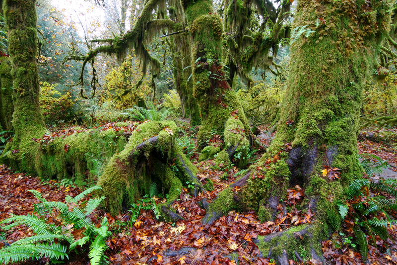 alberi di hickory muscosi nella foresta pluviale di hoh