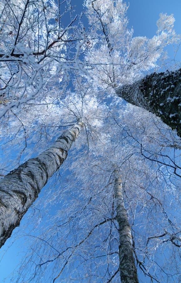 Download Alberi di inverno fotografia stock. Immagine di filiale - 7315420