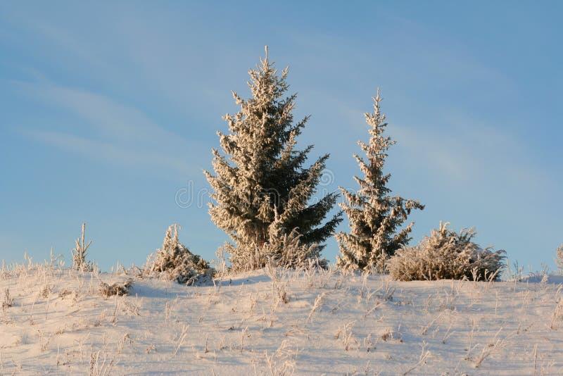 Alberi di inverno in un legno di inverno immagine stock